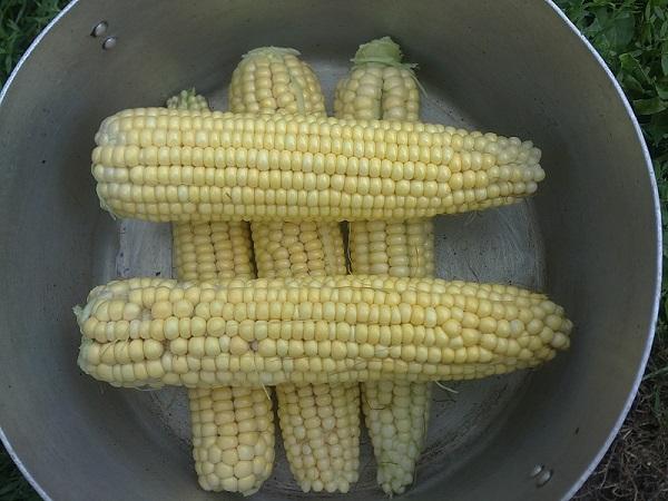как варить молодую кукурузу в кастрюле